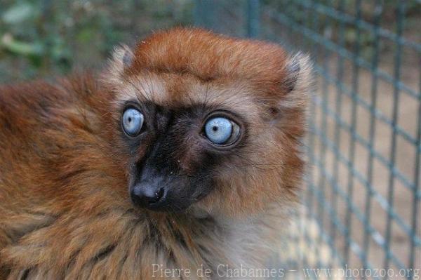 Un animal - Blucat - 4 Novembre trouvé par Martine Eulemur+macaco+flavifrons+21