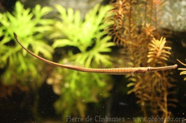 ... Europe ? Germany ? Tierpark Hagenbeck ? Giant freshwater pipefish